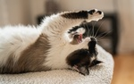 Обои Кошка лежит на подстилке лапками к верху, фотограф Signеe 2. s