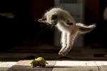 Обои Котенок в прыжке