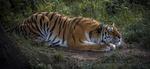 Обои Тигр лежит на земле, by Jonnyfez