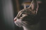 Обои Портрет кошки в профиль, фотограф Kazuky Akayashi