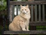 Обои Пушистая кошка сидит на лавочке, by Anita Austvika