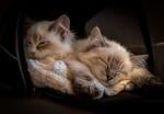 Обои Два спящих котенка в сумке