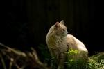 Обои Пушистая кошка смотрит в сторону, by Erda Estremera