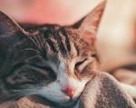 Обои Спящая серая в полосочку кошка