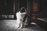 Обои Черно-белый кот смотрит в сторону, by allison christine