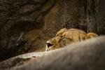 Обои Спящий на камне молодой лев