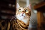 Обои Кошка с удивленными глазами на размытом фоне, by Paul Hanaoka