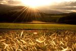 Обои Яркое солнце освещает колосистое поле с маками