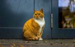 Обои Рыжая кошка сидит у дверей дома