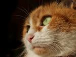 Обои Мордочка рыжей кошки с зелеными глазами, by Lucie Gagnon