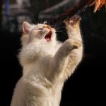 Обои Белая кошка стоит на задних лапках, by Regina