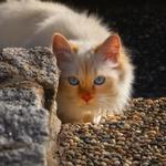 Обои Белая кошка с голубыми глазами, by Regina