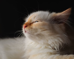 Обои Маленький белый котенок, фотограф Regina