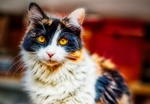 Обои Трехцветная кошка на размытом фоне