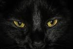 Обои Мордочка черной кошки с желтыми глазами, by Richard Boyd