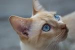 Обои Кошка с голубыми глазами, by Uriel Soberanes