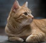 Обои Рыжая кошка смотрит в сторону, by Uriel Soberanes