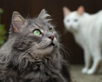 Обои На переднем плане серая кошка с зелеными глазами, на втором плане белая кошка