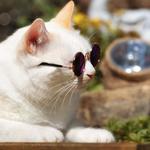 Обои Белый кот в солнцезащитных очках