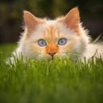 Обои Голубоглазая белая кошка в траве, фотограф Regina