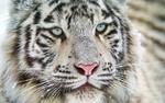 Обои Белый тигр с голубыми глазами