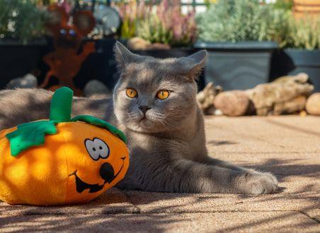 Конкурсная работа Серый кот лежит в саду на песке рядом с мягкой игрушкой в виде светильника Джека