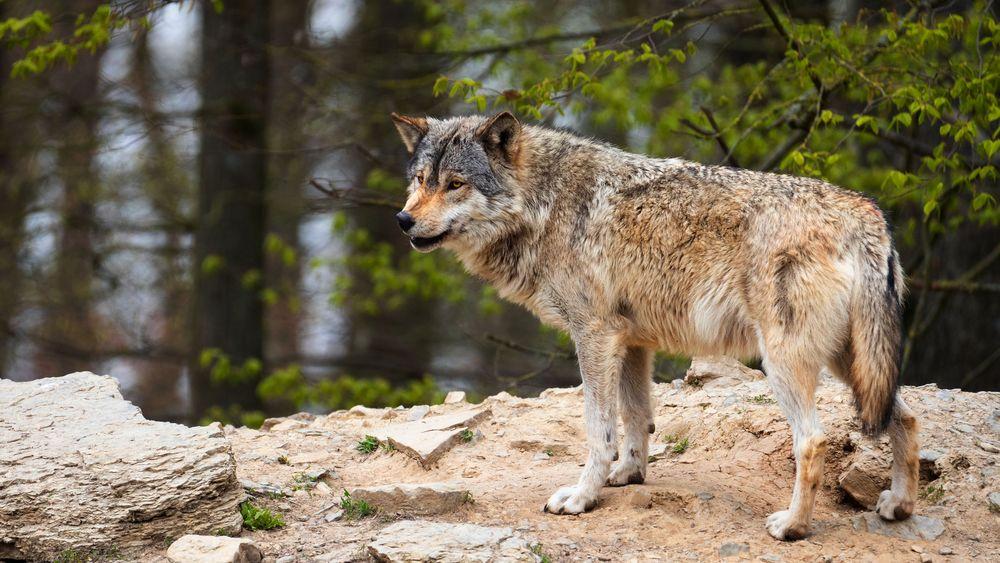 Обои Волк стоит на каменной поверхности в лесу на рабочий стол