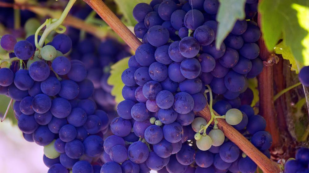 Обои для рабочего стола Грозди синего винограда
