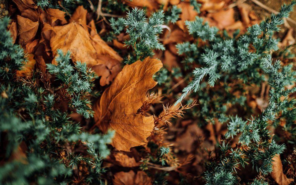 Обои для рабочего стола Сухие осенние листья лежат на еловых ветках