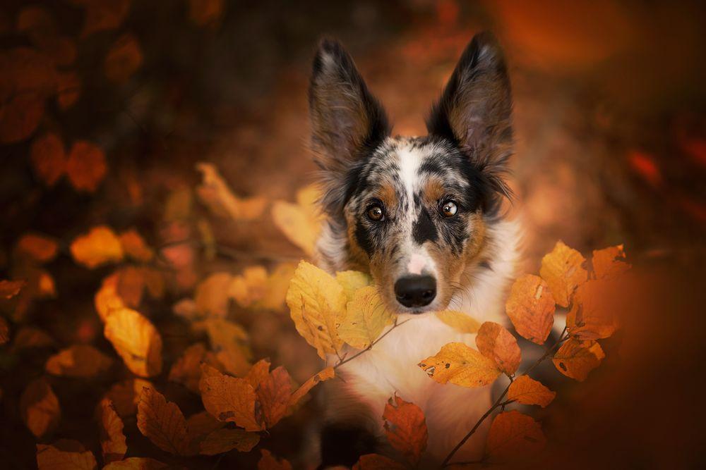 Обои для рабочего стола Собака породы бордер-колли среди осенней листвы