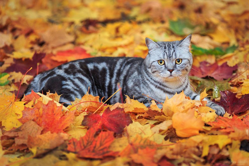 Обои для рабочего стола Серая полосатая кошка лежит на осенней листве, by Sergey Shatskov