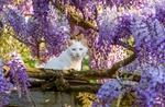 Обои Белый кот сидит по цветущей глицинией