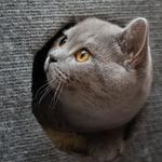 Обои Британский короткошерстный кот