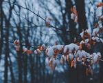 Обои Сухие листья в снегу
