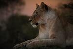 Обои Львица отдыхает на размытом фоне природы вечером