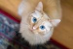 Обои Голубоглазый котик смотрит вверх