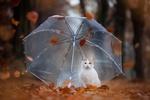 Обои Белая кошка сидит под прозрачным зонтом в осеннем лесу, by Lain-AwakeAtNight