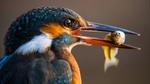 Обои Птица зимородок с уловом