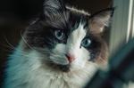 Обои Кошка с голубыми глазами, by Jonathan Meyer