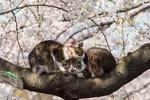 Обои Два котика на цветущей сакуре