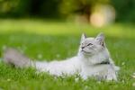 Обои Голубоглазая кошка лежит на траве