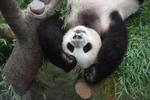 Обои Панда свисает вниз головой, by IN CHERL KIM