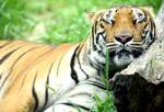 Обои Спящий на природе тигр, by IN CHERL KIM
