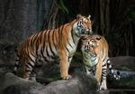 Обои Пара тигров на природе