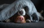 Обои Мордочки двух псов выглядывают из-под вязаной вещи, by Анна Аверьянова