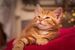 Обои Сонный рыжий котенок, by Paul Hankinson