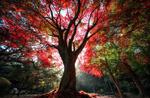 Обои Осеннее дерево с красной листвой в парке, by Jaewoon U