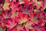 Обои Осенние кленовые листья, by JKLS photography