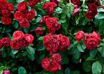 Обои Красные кустовые розы, by JKLS photography