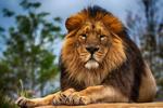 Обои Лев на фоне природы, фотограф Richard Boyd